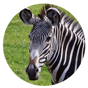 Zulu is a zebra who was originally acquired for a kids camp. Management didn't know that zebras are basically wild horses and not quite suitable for kids...