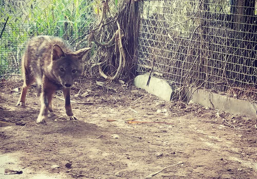 February 2017 Update: rescuing and releasing a coyote