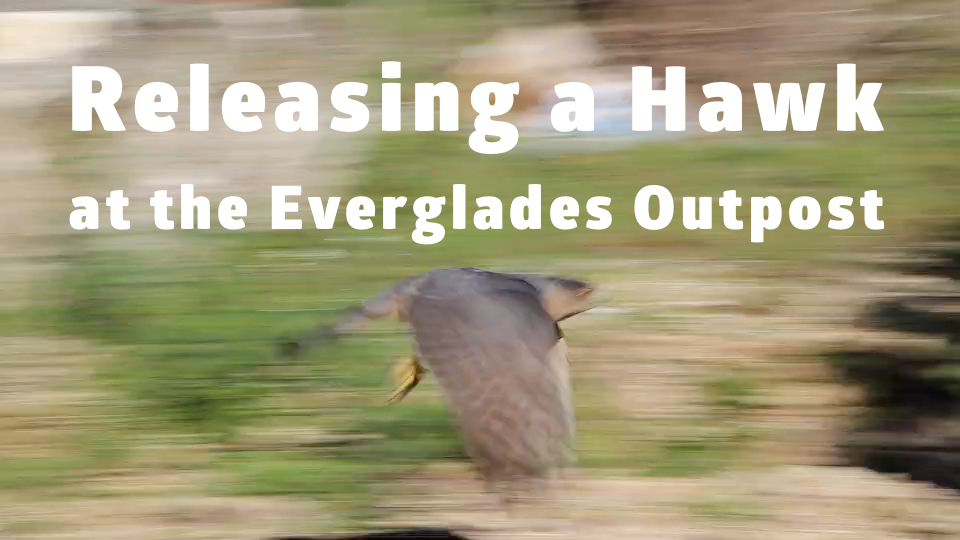 Releasing a Hawk at the Everglades Outpost