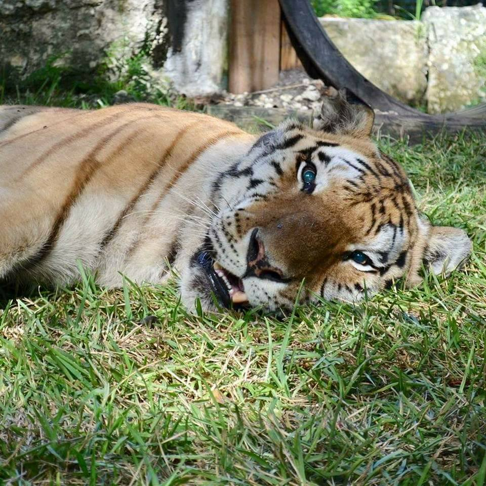 Remembering Rocky, the Tiger
