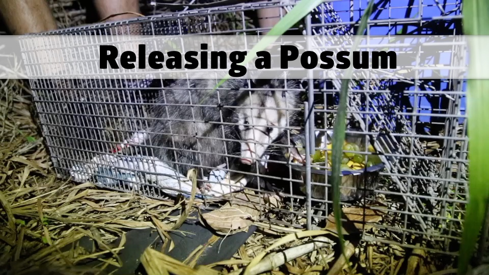 Releasing a Possum